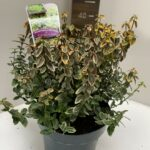 Euonymus fort. Emerald 'n Gold