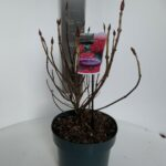 Hydrangea macrophylla Alpengluhen
