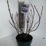 Hydrangea macrophylla White Wave