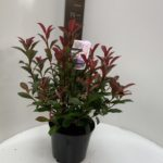 Photinia fras. Carré Rouge