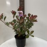 Photinia Pink Marble Cassine®