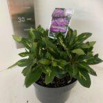 Rhododendron hyb. Goldflimmer