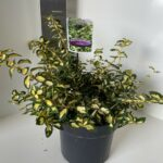 Euonymus fort. Blondy®