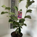 Magnolia Genie ®