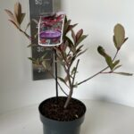 Photinia Pink Marble Cassine®