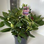 Rhododendron hyb. Cosmopolitan
