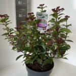 Viburnum tinus Spirit ®