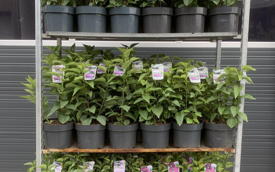 Syringa vulgaris c5 in soorten